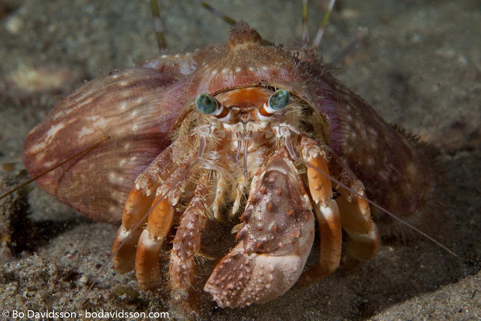 BD-140314-Padre-Burgos-2144-Dardanus-gemmatus-(H.-Milne-Edwards.-1848)-[Jeweled-anemone-hermit-crab].jpg